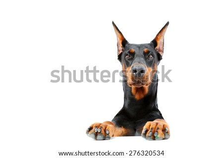 Strong will. Portrait of dobermann pinscher emerging from behind out on isolated white background. - stock photo