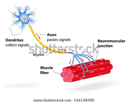 structure motor neuron. Include dendrites, cell body with nucleus, axon, myelin sheath, nodes of Ranvier and motor end plates. The impulses are transmitted through the motor neuron in one direction - stock photo