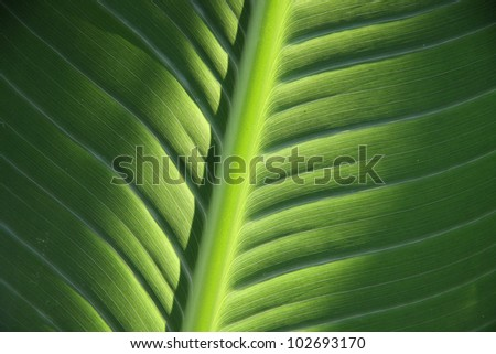 structure of green leaf, vein rib of monocotyledon - stock photo