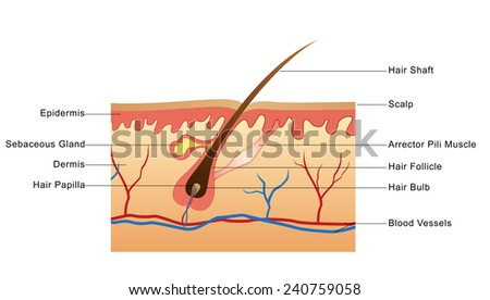 Structure of Hair - stock photo