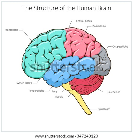 Structure of human brain schematic raster illustration. Medical science educational illustration - stock photo