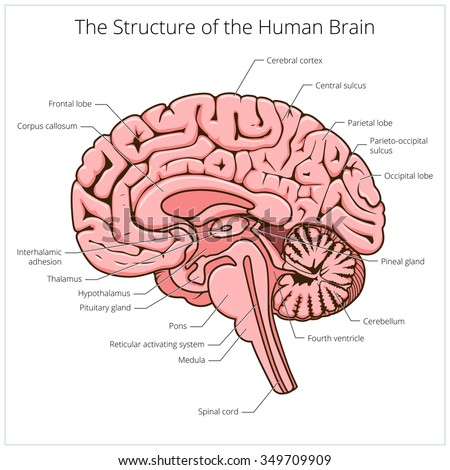 Structure human brain section schematic raster em ilustrao stock structure of human brain section schematic raster illustration medical science educational illustration ccuart Gallery