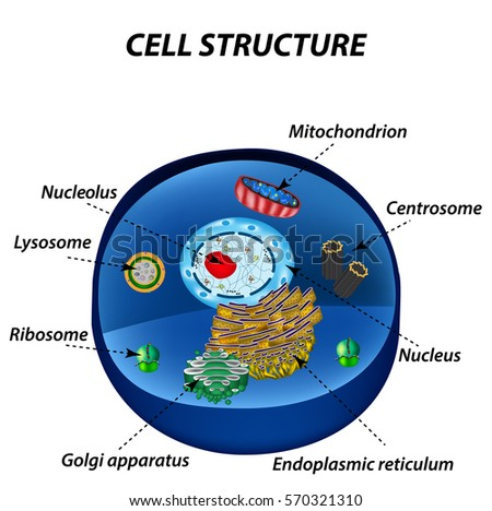 Structure human cells organelles core nucleus em ilustrao stock structure of human cells organelles the core nucleus endoplasmic reticulum golgi apparatus ccuart Image collections