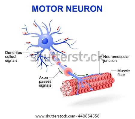 structure of motor neuron. Include dendrites, cell body with nucleus, axon, myelin sheath, nodes of Ranvier and motor end plates. The impulses are transmitted through the motor neuron in one direction - stock photo