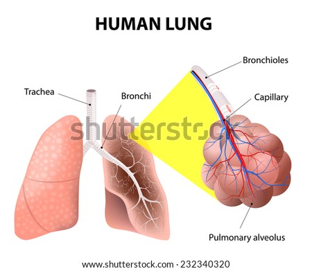 Structure of the human lungs. Air enters your lungs through a system of the bronchi. bronchi start from the bottom of the trachea, they eventually form little thin-walled air sacs or bubbles, alveoli - stock photo