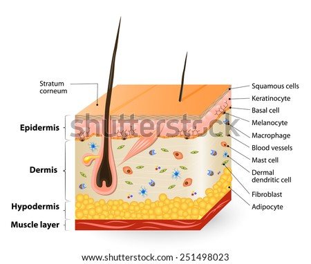 Human Skin Layers Stock Images, Royalty-Free Images ...
