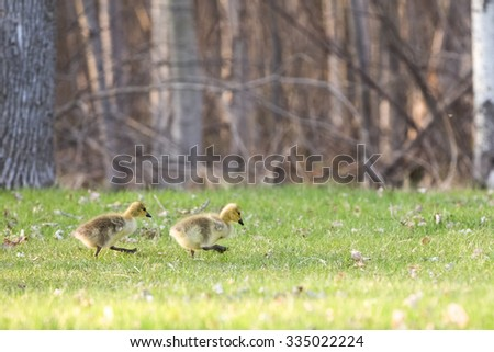 Strutting Baby Geese - pair of determined baby Canadian Geese (branta canadensis) walking through a park in the Spring.  Selective focus on the goslings with copy space in upper part of frame. - stock photo