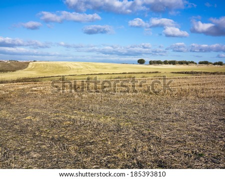 Stubble and olive trees in Pinto. Madrid. Spain. Europe.