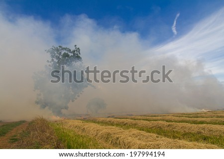 Stubble and straw harvesting of paddy is about to be burned soon. - stock photo