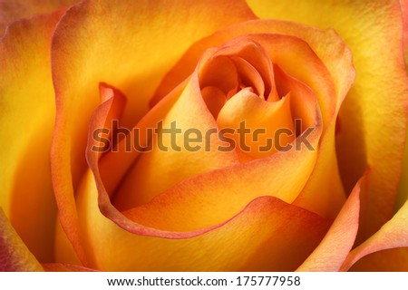 Studio closeup of a beautiful orange rose with flowing colors, shapes and contrasts - stock photo