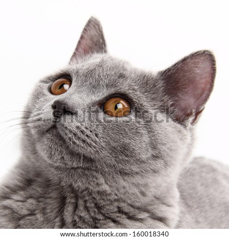 studio image of funny curious animal/charming young british cat - stock photo
