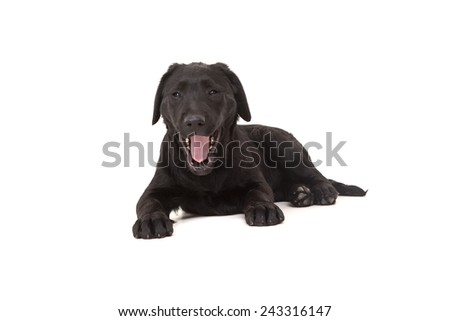 Studio photo of a baby labrador retriever, isolated over a white background