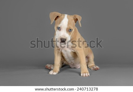 Studio photo of a female pitbull puppy with blue eyes at a grey background - stock photo