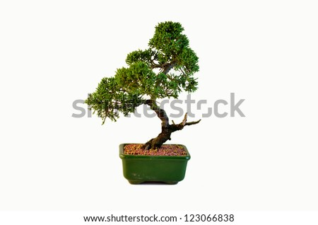 Studio photo of a shimpaku Bonsai