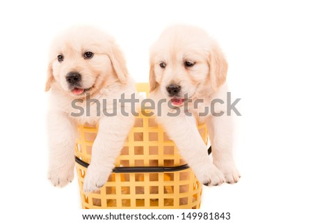 Studio photo of baby golden retrievers, isolated over a white background
