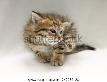 Studio photo of funny little kitten scratched, close-up - stock photo