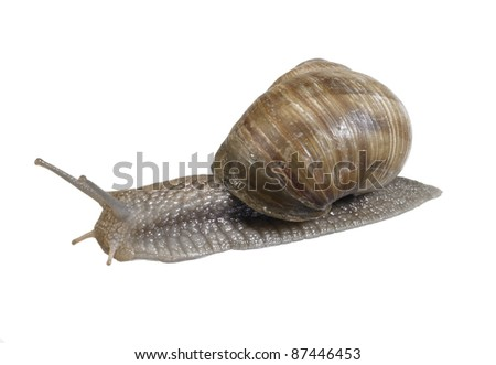 studio photography of a grapevine snail seen from behind in white back - stock photo