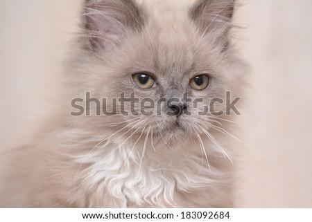 Studio portrait cat isolated on grey background  - stock photo