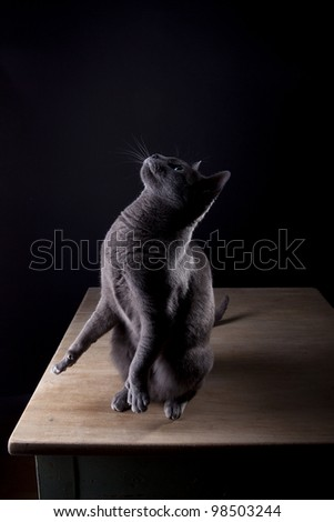 Studio Portrait of a beautiful Russian Blue Cat against Black Background