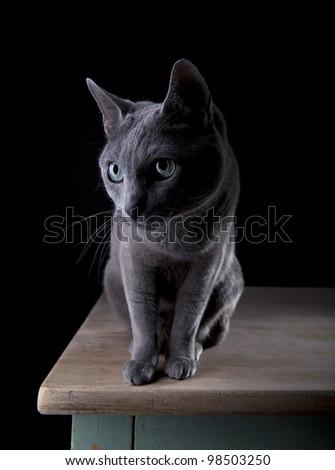Studio Portrait of a beautiful Russian Blue Cat against Black Background - stock photo