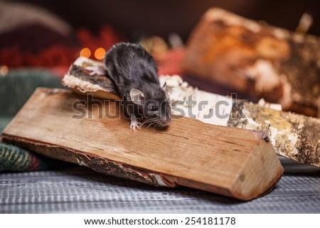 studio portrait of a brown domestic rat - stock photo
