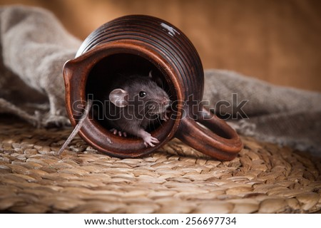 studio portrait of a brown domestic rat - stock photo