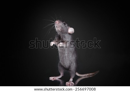 studio portrait of a brown domestic rat on a black background - stock photo