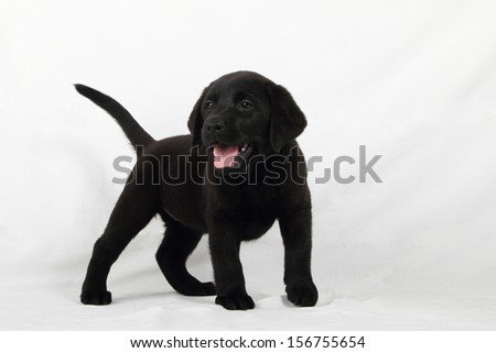 studio portrait of a labrador puppy - stock photo