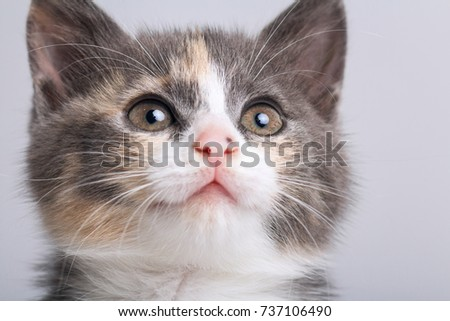 studio portrait of a muzzle of a small gray three-colored kitten on a gray background
