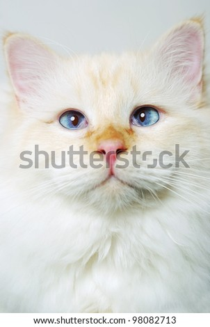 studio portrait of a red point birman