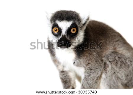 Studio portrait of a Ringtailed Lemur. - stock photo