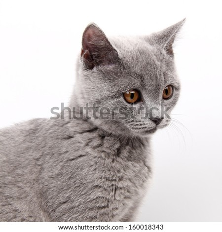 studio portrait of adorable british kitten posing on camera/lovely image of domestic british kitten