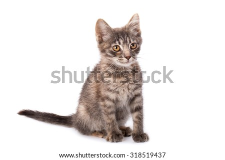 Studio portrait of adorable young grey kitten