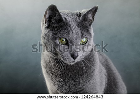 Studio portrait of an elegant purebred Russian Blue Cat