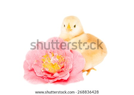 Studio portrait of baby chick on the pink camellia flower isolated on white background. - stock photo