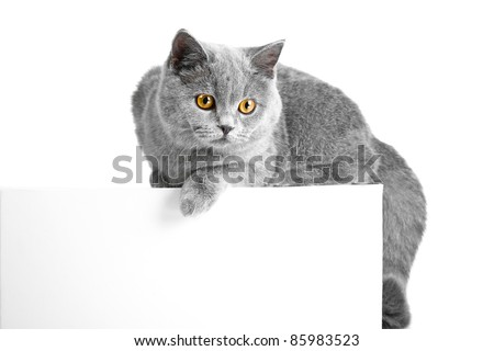 Studio portrait of beautiful young British blue cat lying on tablet with space for your text - stock photo