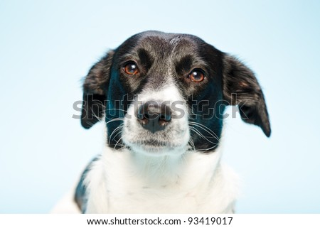 Studio portrait of black and white mixed breed dog isolated on light blue background