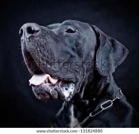 Studio portrait of black Great Dane Dog (danish dog) on black  background - stock photo