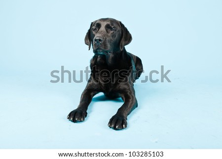 Studio portrait of black labrador isolated on light blue background.
