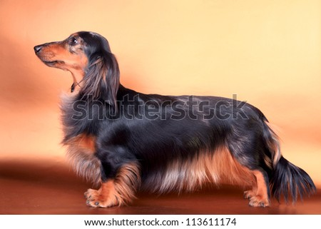 Studio portrait of black spotted long-haired dachshund - stock photo