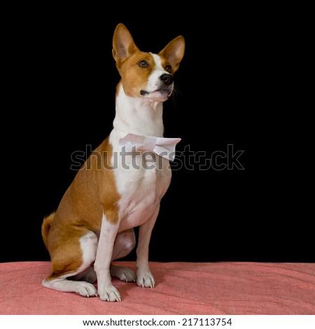 Studio portrait of brave Basenji dog - stock photo