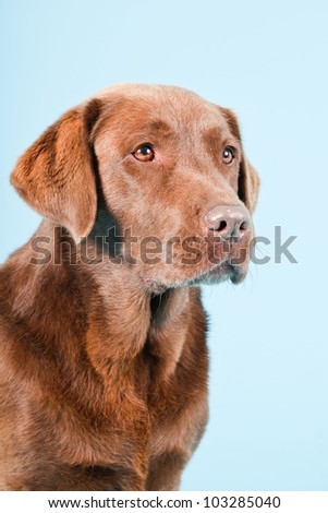 Studio portrait of brown labrador isolated on light blue background. - stock photo