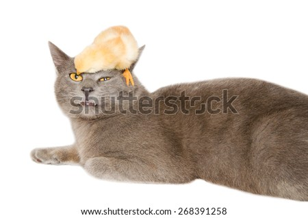 Studio portrait of crazy and funny animals. Baby chick playing with gray cat. - stock photo