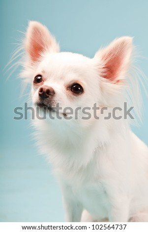 Studio portrait of cute white chihuahua puppy isolated on light blue background.