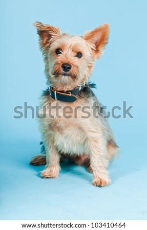Studio portrait of cute yorkshire terrier dog isolated on light blue background