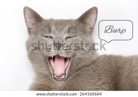 Studio portrait of hungry baby chartreux cat isolated on white background with open mouth and text. - stock photo