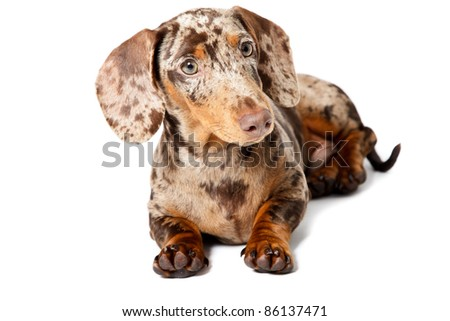 Studio portrait of little brown spotted dachshund isolated on white background - stock photo