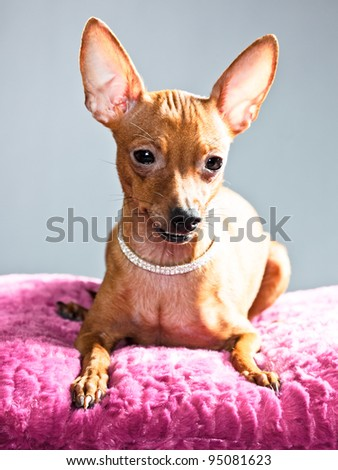 Studio portrait of miniature pinscher lying on pink cushion isolated on grey background