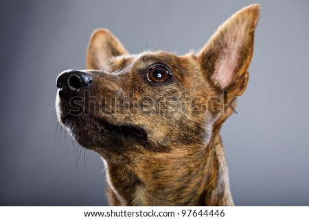 Studio portrait of small brown mixed breed dog isolated on grey background