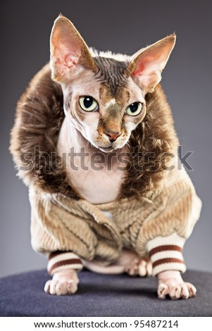 Studio portrait of sphynx cat wearing fur jacket isolated on grey background
